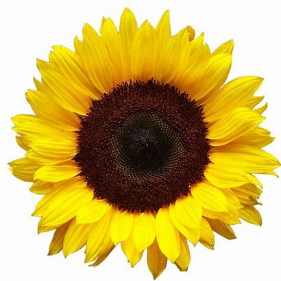 Sunflowers Sunflower Transparent Flower Flowers Clip Yellow