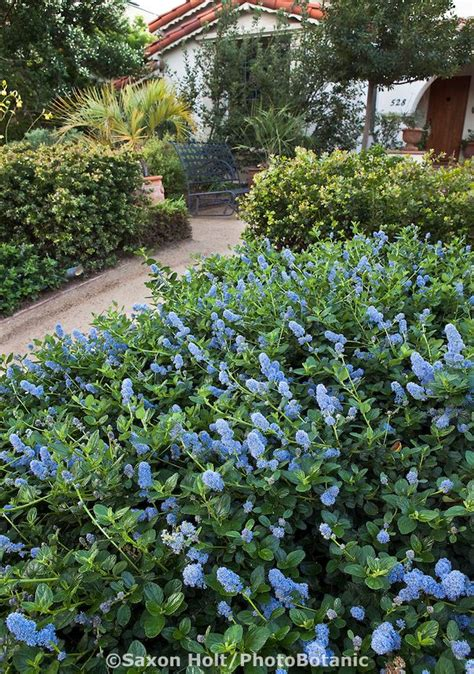 southern california plants 12 best images about california lilac ceanothus on pinterest california drought hedges and
