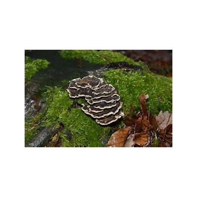 File:Trametes versicolor - Coriolus Polyporus