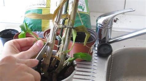Orchideen Kindel Einpflanzen by Orchids Uitloper Planten Instructies