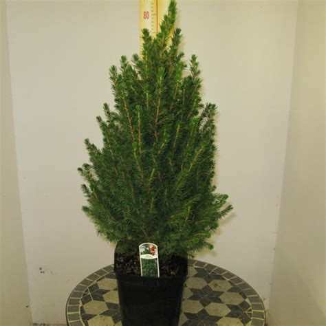 Buy Picea Glauca Conica 7080cm (mini Christmas Tree