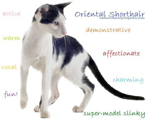 oriental shorthair cat cat breeds encyclopedia