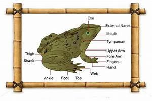 Frog External Anatomy