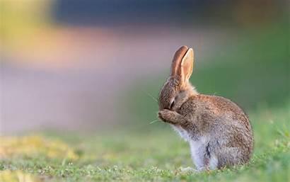 Rabbit Rabbits Wallpapers Bunny Sleeping Desktop Animals