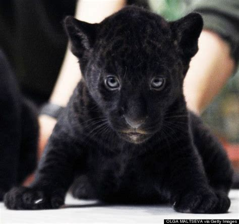 panther baby cub animals cute zoo month looks panthers animal adorable huffingtonpost during february cubs presentation petersburg st wild around