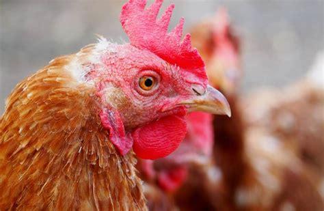 Genetycznie zmodyfikowane kury, które znoszą jaja ...
