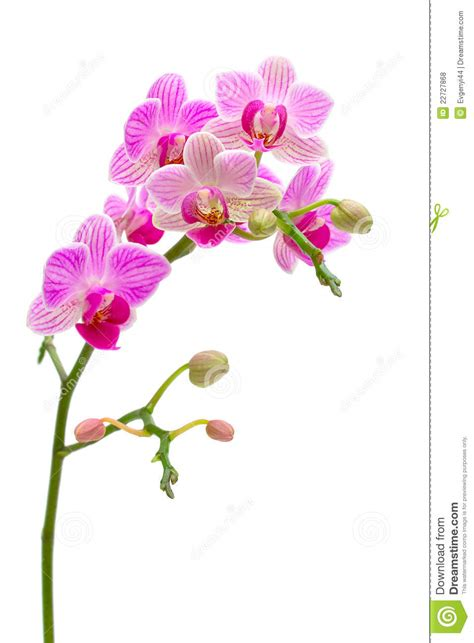 blooming orchids blooming orchid on a white background royalty free stock photos image 22727868