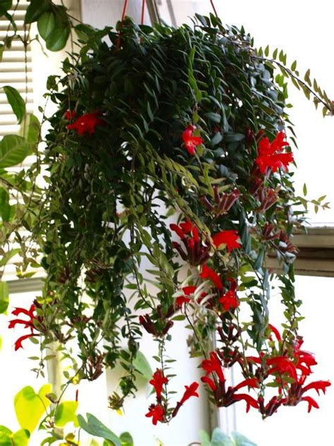 lipstick plant care indoors 25 best ideas about lipstick plant on pinterest zone 4 perennials yellow perennials and