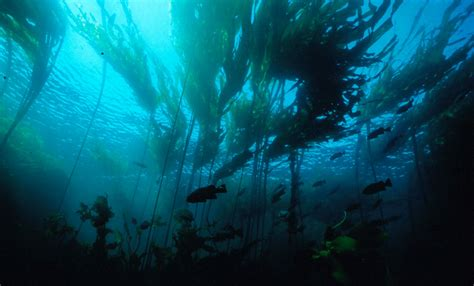 forest wallpaper desktop wallpaper the spectacle of underwater photography Kelp