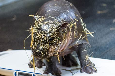 Newborn Pygmy Hippo Enough Said Zooborns Earth Touch
