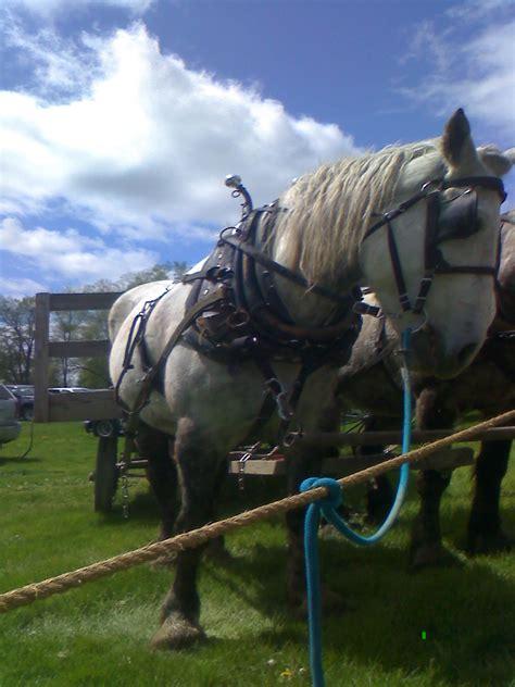amish horses draft horse sale