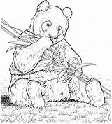 Panda Colouring Pages Bamboo Picolour sketch template
