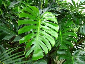 Plantes Exotiques D Intérieur : philodendron planter cultiver multiplier ~ Melissatoandfro.com Idées de Décoration
