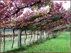 Achat Pied De Vigne Raisin De Table : vigne au portugal ma passion du verger ~ Nature-et-papiers.com Idées de Décoration