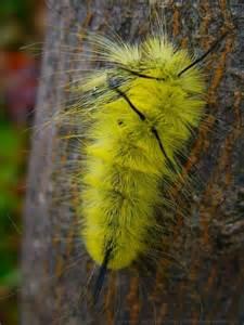 Yellow Fuzzy Caterpillar Identification