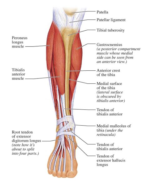 Review muscle diagram using the 2 diagrams below: Posterior Calf Anatomy Muscles Of The Lower Leg Diagram ...