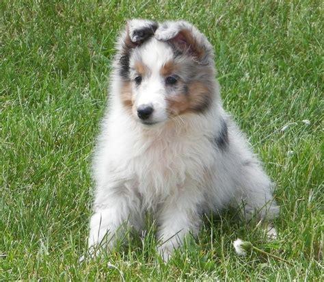 Sheltie Shedding Puppy Coat by Our Beautiful New Sheltie Josie Dogs Beautiful