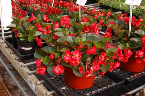are begonias annuals big begonia red a b guide to summer annuals with topiarius pinterest red