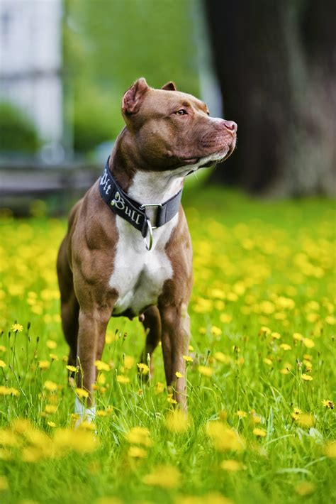 evangers breed buzz american pit bull terrier