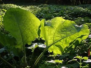 Pflanze Große Blätter : gro e bl tter im gegenlicht forum f r naturfotografen ~ Avissmed.com Haus und Dekorationen