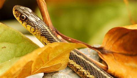 งูเข้าบ้าน สาเหตุเกิดจากอะไร ป้องกันได้อย่างไร? - Gurubaan.com