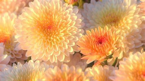 chrysanthemum wallpapers uskycom