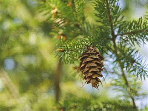 Unterschied Fichte Kiefer by What Is The Difference Between Fir Pine Trees Hunker
