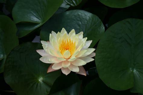 ren 233 o deay online 187 lotus