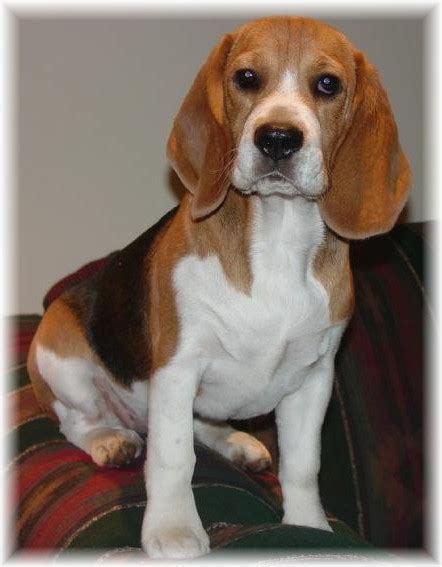 do beagles shed all about beagles
