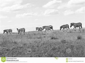 Wildlife Zebra Animals Grasslands Black White Tone Vintage ...