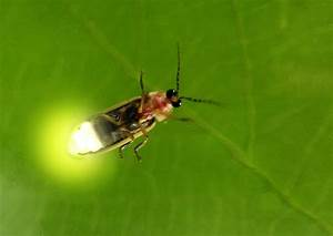 Fireflies: Vanishing Lights - Houston Arboretum & Nature ...