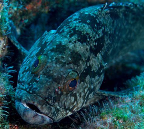 grouper cabrilla key fl west underpressure