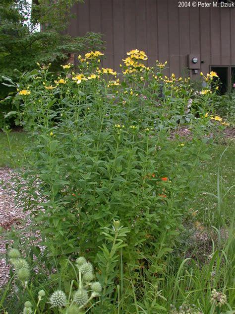hypericum ascyron great st johnswort minnesota wildflowers