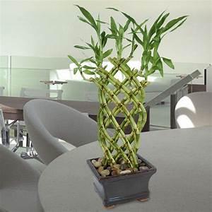 Bambus Pflege Zimmerpflanze : wie pflege ich gl cksbambus richtig garten zenideen ~ Michelbontemps.com Haus und Dekorationen