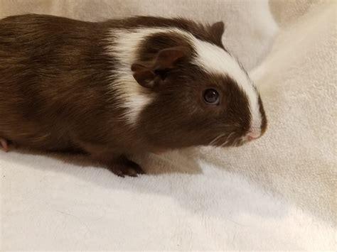 piggies galore owner surrenders guinea pigs givingtuesday