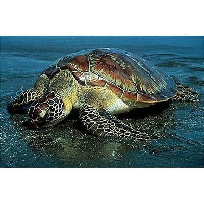 Green Sea TurtleAnimal Unique