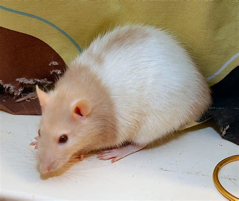 rats as pets pet rats hooded www imgkid com the image kid has it