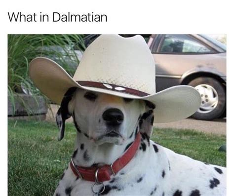 What Is Memes What In Dalmatian What In Tarnation Your Meme