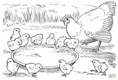 Colorear Coloring Dibujos Chickens Gallina Pollitos Hen