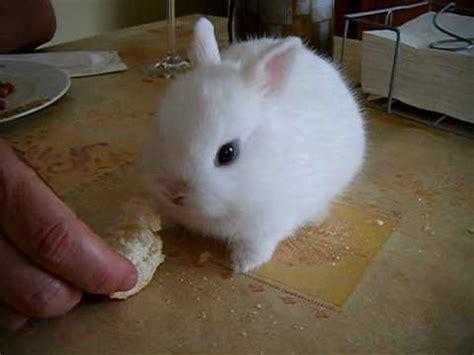 chanel conejo enano comiendo pan  cobito llorando