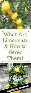 How To Grow Limequat Trees