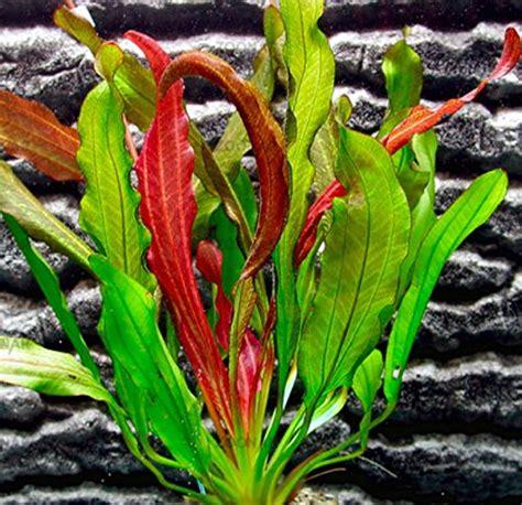 aquarium plants   kinds  amazon