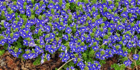 blue flower ground cover plants tidal pool veronica true blue flowers lost in the flowers