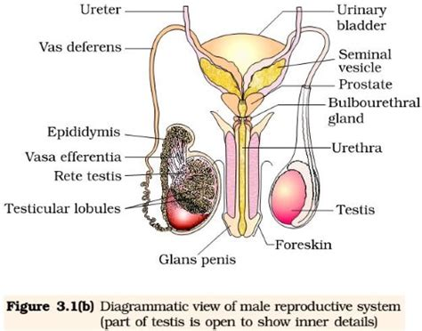 reproduction human reproductive system