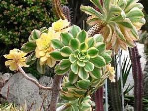 Entretien Plantes Grasses : l 39 aeonium culture et entretien ~ Melissatoandfro.com Idées de Décoration