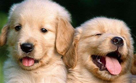 Golden Retriever Dog Free Articles Videos And Pictures 2018