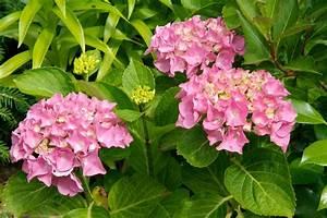 Hydrangea Macrophylla Winterhart : hydrangea macrophylla ~ Michelbontemps.com Haus und Dekorationen