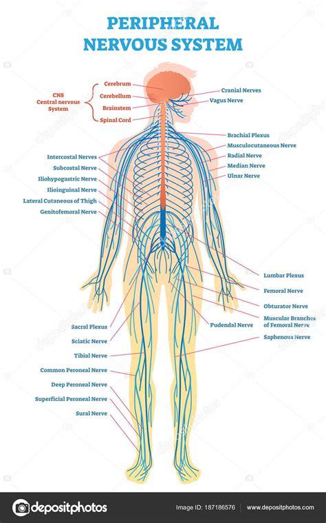 Diagrama Del Cuerpo Humano