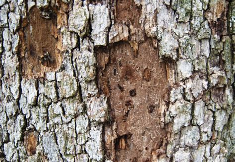 tree diseases images hypoxylon canker in oaks part 1 blog preservation tree services dallas fort worth tx