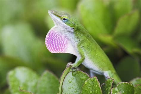 green anole an introduction to green anoles as pets